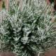 Calluna vulgaris 'Hammondii Aureifolia'