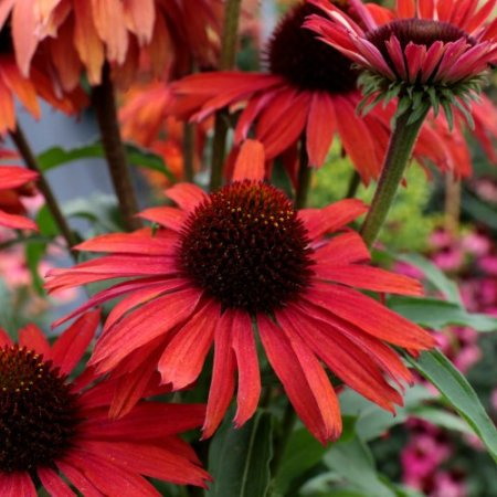 Echinacea 'Fountain™ Red'