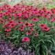 Echinacea 'Kismet ® Raspberry'