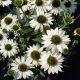 Echinacea 'Kismet ® White'