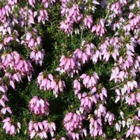 Erica carnea 'Pink SpanglesErica carnea 'Praecox Rubra'