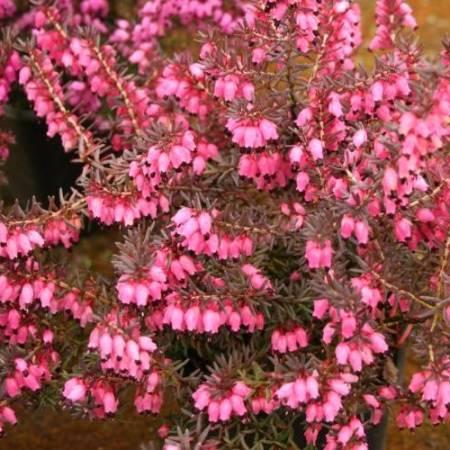 Erica x darleyensis 'Pink Harmony'