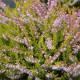 Calluna vulgaris 'Cuprea'