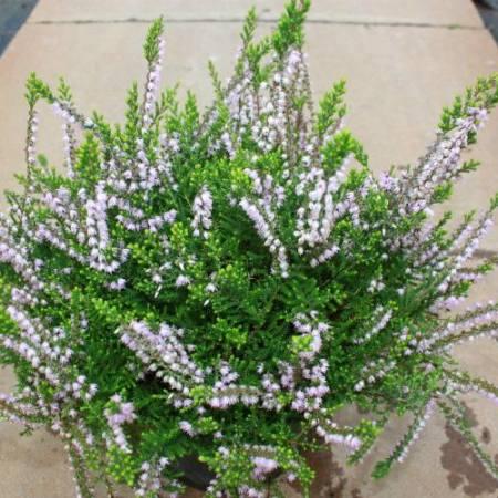 Calluna vulgaris 'Easter Bonfire'