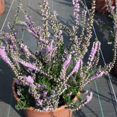 Calluna vulgaris 'Hammondii Rubrifolia'