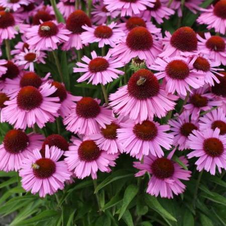 Echinacea 'Meditation Pink'®