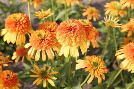 Echinacea 'Rhythms With Orange'®
