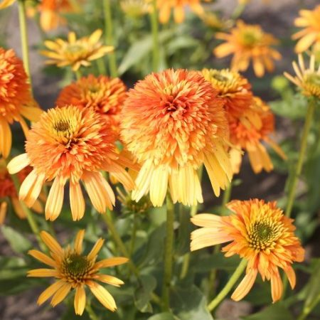 Echinacea 'Rhythms With Orange'®