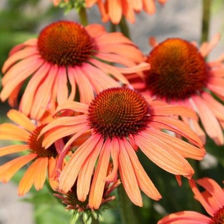 Echinacea 'Sensation Orange'®