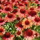 Echinacea 'Meditation Orange'®