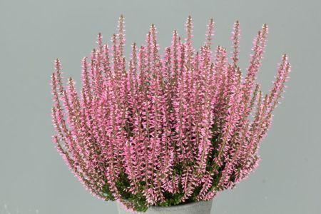 Calluna vulgaris 'Rita' GardenGirls ®
