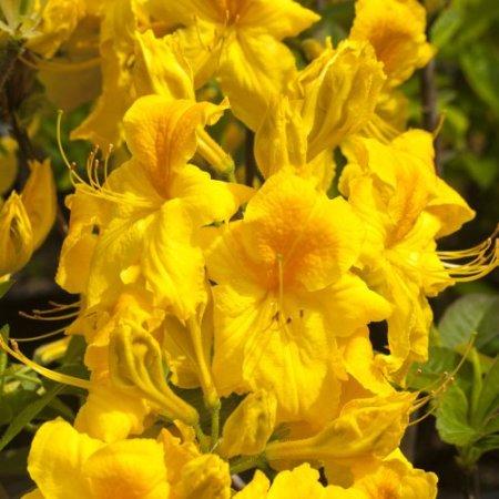 Rhododendron luteum 'Goldstück'