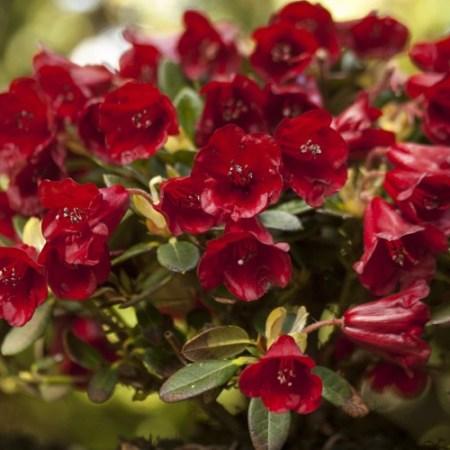 Rhododendron repens 'Carmen'