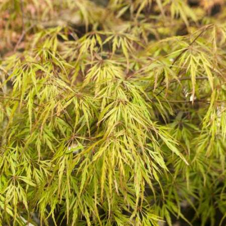 Acer palmatum 'Shu shidare'