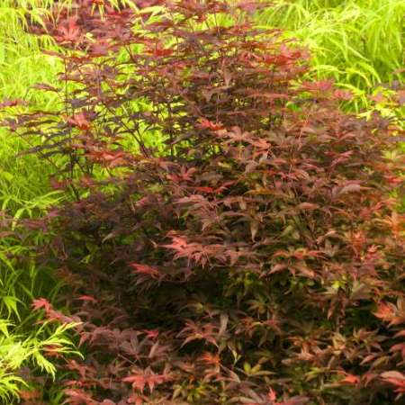 Acer palmatum 'Twombley's Red Sentinel'