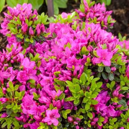 Rhododendron obtusum 'Änne'