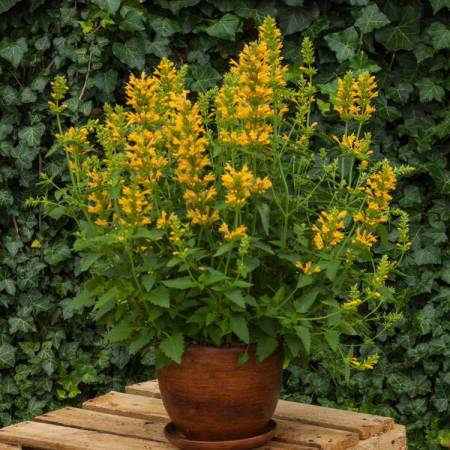 Agastache 'Kudos Yellow'