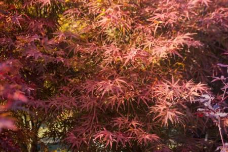 Acer palmatum 'Beni otake'