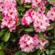 Rhododendron Hybride 'Bohlken's Krohnjuwel'
