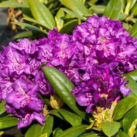 Rhododendron yakushimanum 'Bohlken's Lupinenberg Laguna'