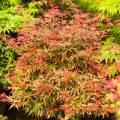 Acer palmatum 'Carll's Corner'