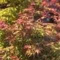 Acer palmatum 'Carmineum' (Syn.: 'Seigen')