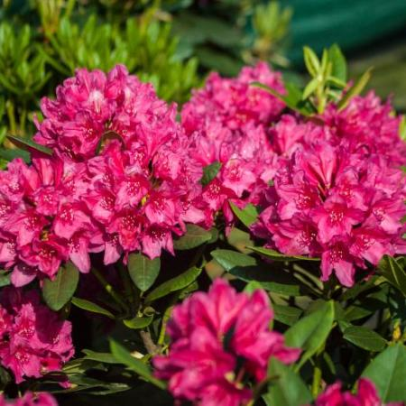 Rhododendron Hybride 'Dr. H.C. Dresselhuys'