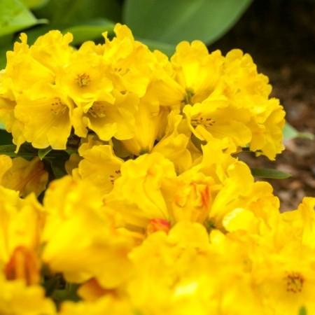 Rhododendron Hybride 'Golden Everest' ®