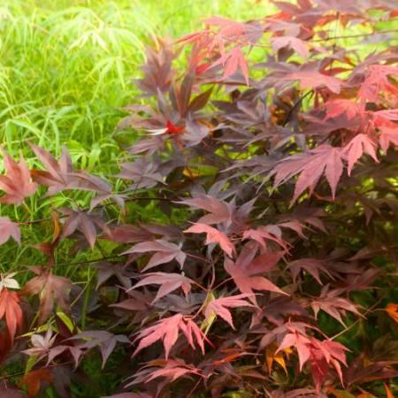 Acer palmatum 'Hefner's Red'