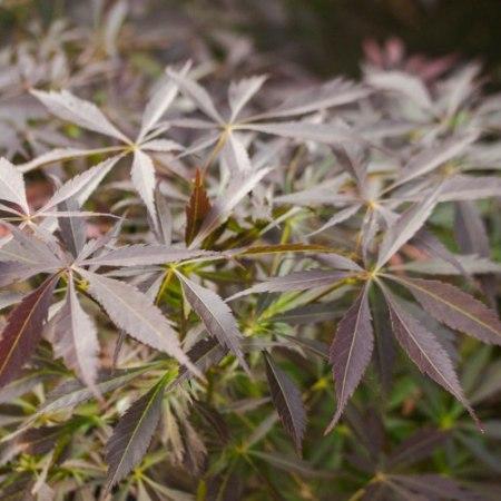 Acer palmatum 'JJ'