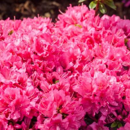 Rhododendron obtusum 'Minna-Ida'
