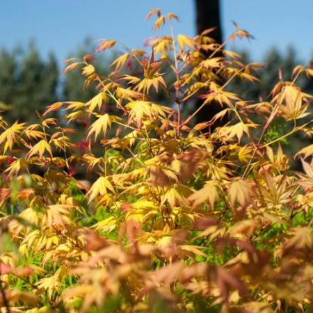 Acer palmatum 'Momoiro koyasan'