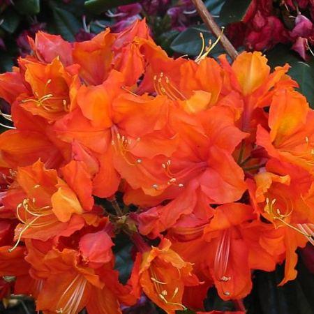 Rhododendron luteum 'Orange Hit'