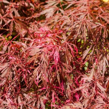 Acer palmatum 'Pink Ballerina'