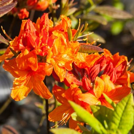 Rhododendron luteum 'Rumba'