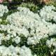 Rhododendron yakushimanum 'Schneekissen'