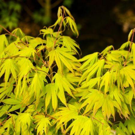 Acer palmatum 'Wakakusa yama'