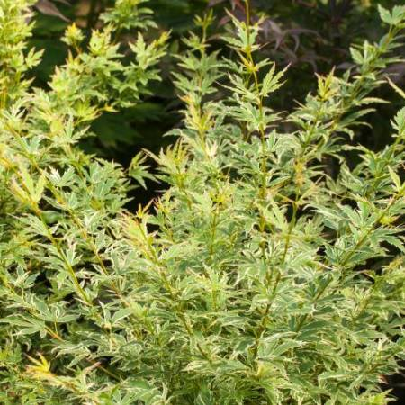 Acer palmatum 'White Butterfly'