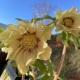 Helleborus orientalis Hybr. 'Gefüllt Gelb'