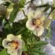 Helleborus orientalis Hybr. 'Super Yellow'