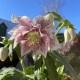 Helleborus orientalis Hybr. 'Gefüllt Weiß'