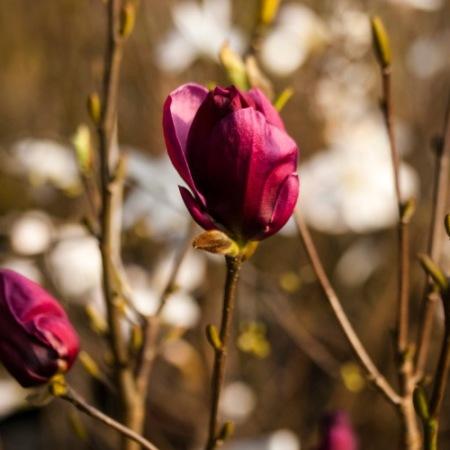 Magnolia 'Genie' ®