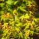 Acer palmatum 'Nishiki yamato'