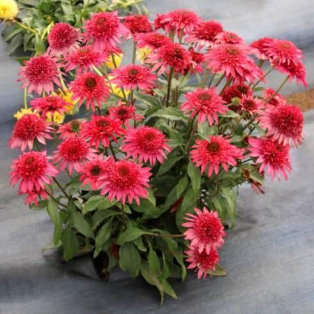 Echinacea 'Giddy Pink'