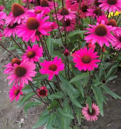 Echinacea 'JS Stiletto'