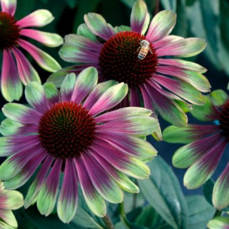 Echinacea 'Sweet Sandia'