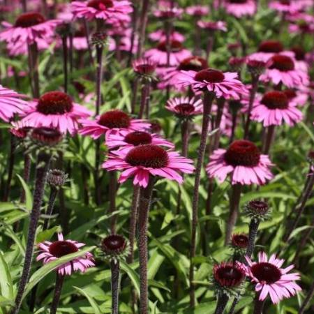 Echinacea 'Sensation Black Pearl' ®