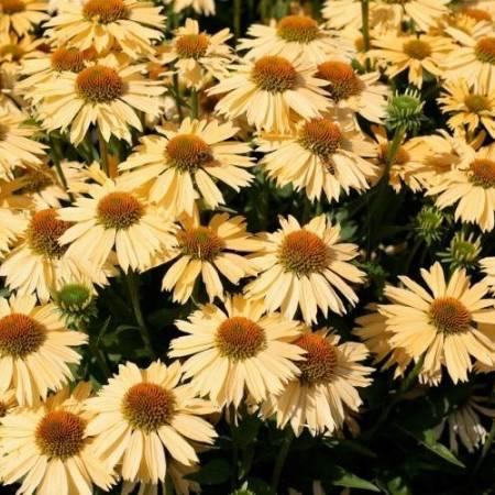 Echinacea 'Sensation Honeygold' ®