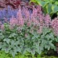 Heucherella 'Pink Fizz'